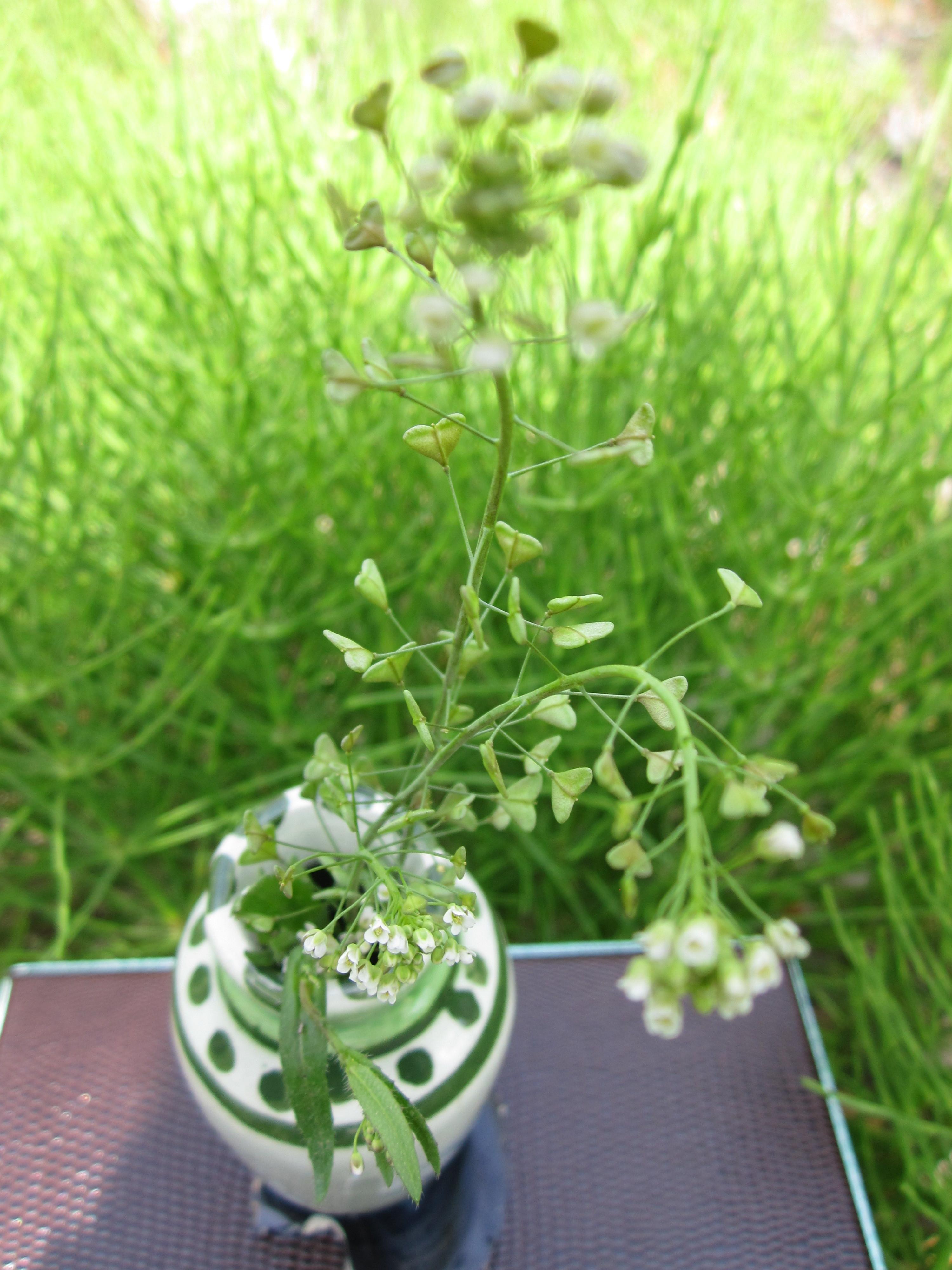 たよ まし の 花 ぺんぺん草 咲き が